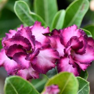 Rose du désert violette