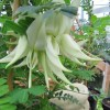 Bec de perroquet blanc - Clianthus puniceus 'alba'