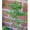 Citronnier caviar vert 'Green Alstonville' - Microcitrus australasica green 'Green Alstonville'