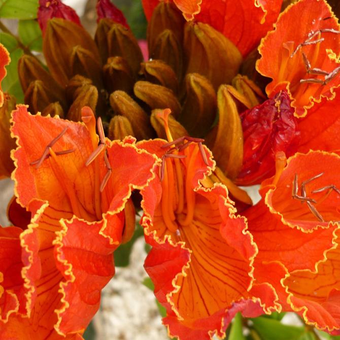 tulipier du gabon spathodea campanulata. Black Bedroom Furniture Sets. Home Design Ideas