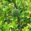 Citronnier épineux 'flying dragon' - Poncirus trifoliata