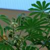 Manioc d'ornement - Manihot grahamii