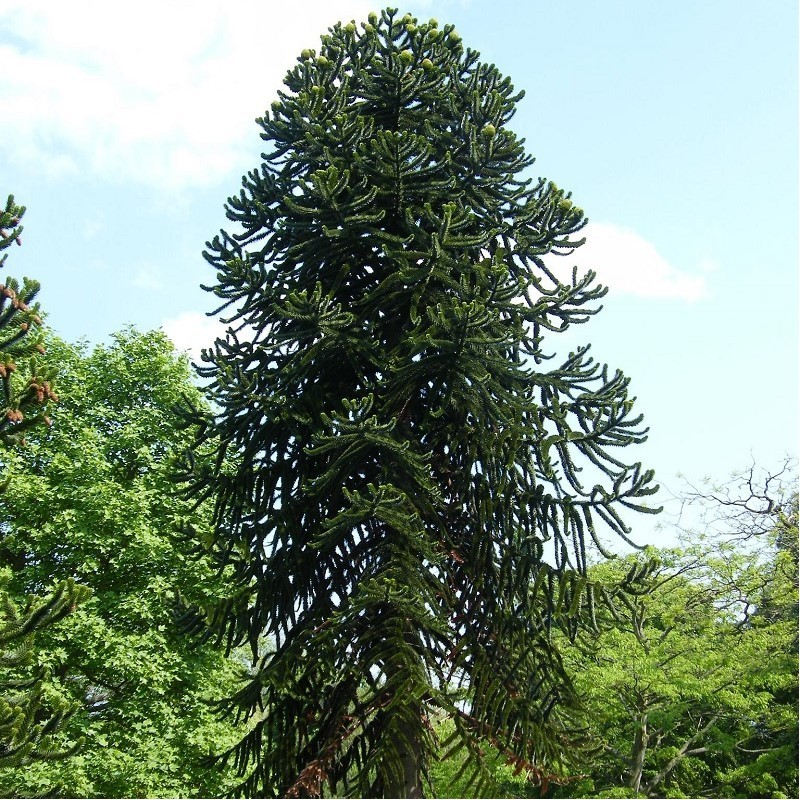 Désespoir des singes - Araucaria araucana