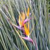 Oiseau du paradis à feuilles de jonc - Strelitzia juncea