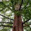 Séquoia de Chine - Metasequoia glyptostroboides