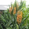 Gingembre ornemental rouge - Hedychium coccineum