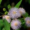 Sensitive - Mimosa pudica