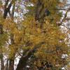 Noyer de Pécan - Carya illinoinensis