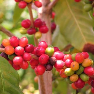 Caféier d'Arabie - Coffea arabica