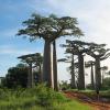 Baobab grandidier - Adansonia grandidieri