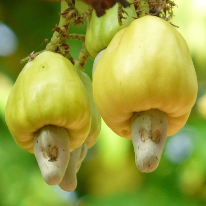 Pommier cajou - Anacardium occidentale