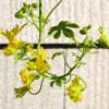 Capucine des Canaries - Tropaeolum peregrinum