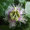 Grenadille pourpre - Passiflora edulis f. edulis