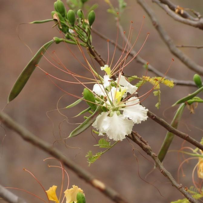 Flamboyant blanc - Delonix elata