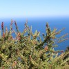Fuchsia arbustif - Fuchsia lycioides
