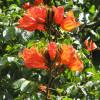 Tulipier du Gabon - Spathodea campanulata