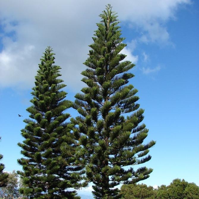 Araucaria de Cook - Araucaria columnaris