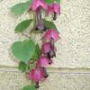 Chapeau chinois - Rhodochiton atrosanguineum