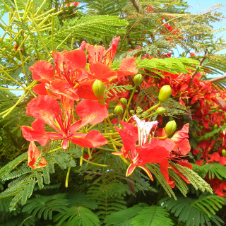Flamboyant royal rouge - Delonix regia rouge