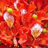 Flamboyant royal rouge