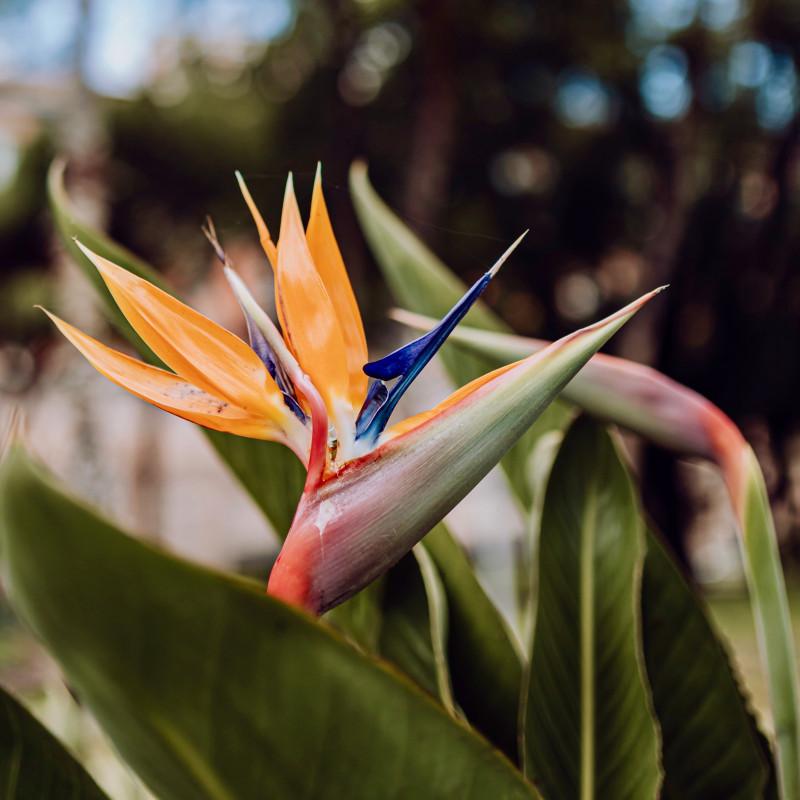 Oiseau du paradis orange et bleu - Strelitzia reginae