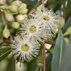 Corymbia citriodora - Eucalyptus citronné