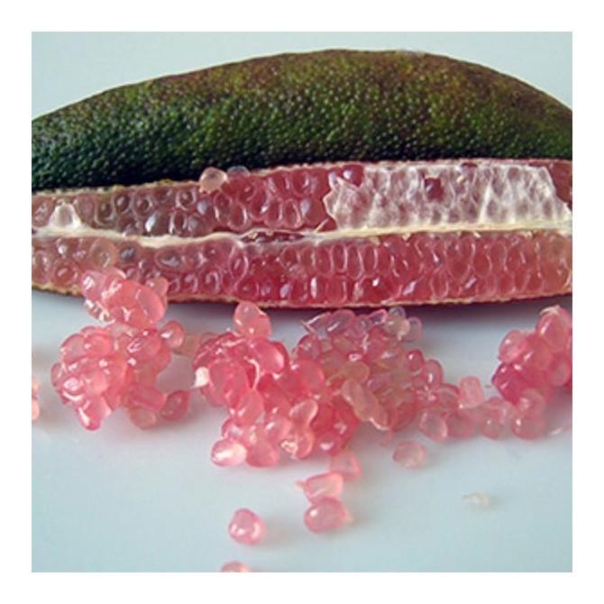 Citronnier caviar 'Pink Pearl' - Microcitrus australasica 'Pink Pearl'