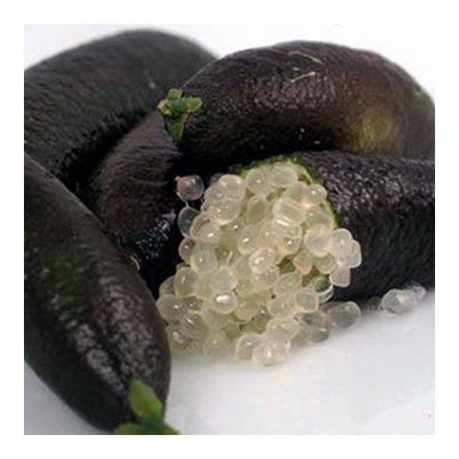 Citronnier caviar 'Emma' - Microcitrus australasica 'Emma'