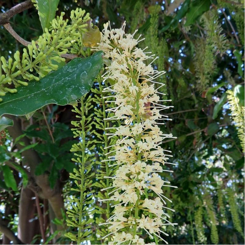 Macadamier - Macadamia integrifolia