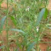 Chirette verte - Andrographis paniculata