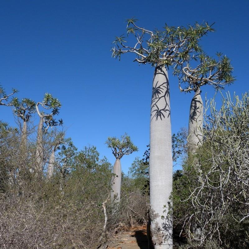 Palmier de Madagascar - Pachypodium geayi