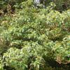 Fuchisa arbre - Fuchsia excorticata