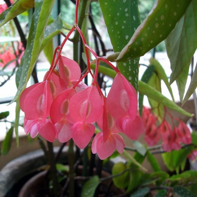 Bégonia bambou - Begonia maculata
