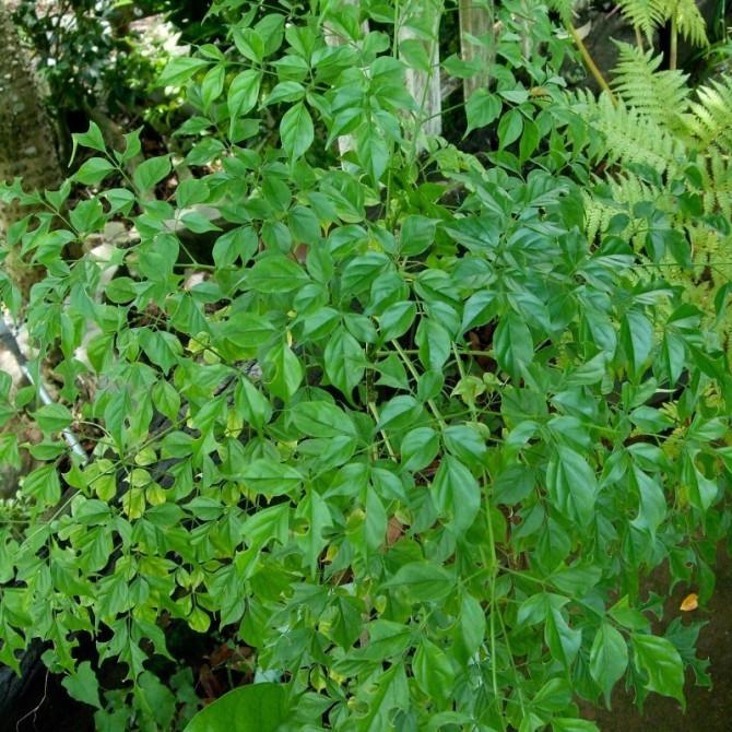 Arbre émeraude - Radermachera sinica