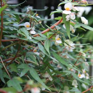Begonia bonsaï