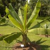 Bananier d'Abyssinie - Ensete ventricosum