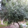 Pomme caffre - Dovyalis caffra