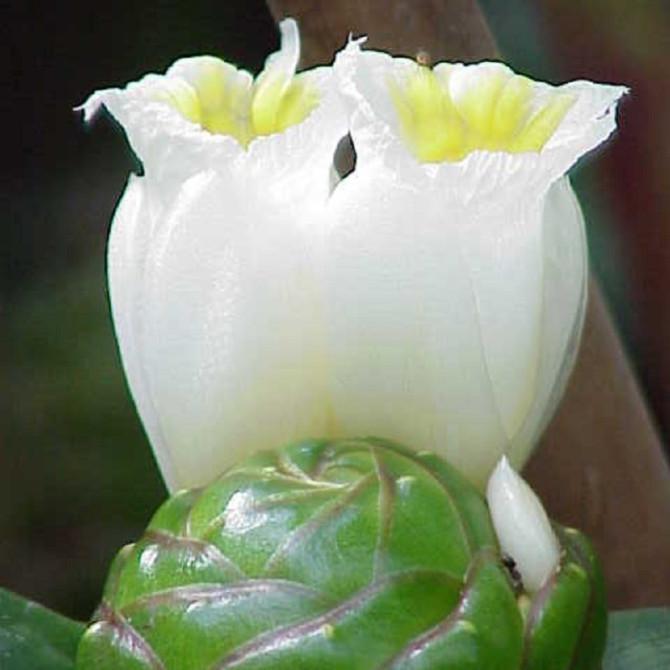 Gingembre spirale blanc - Costus dubius