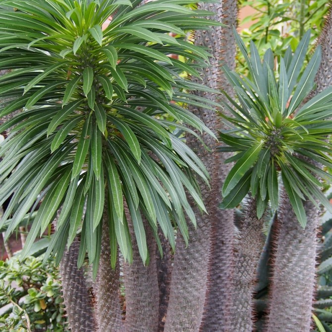 Palmier malgache - Pachypodium lamerei
