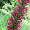Vipérine de Russie - Echium russicum