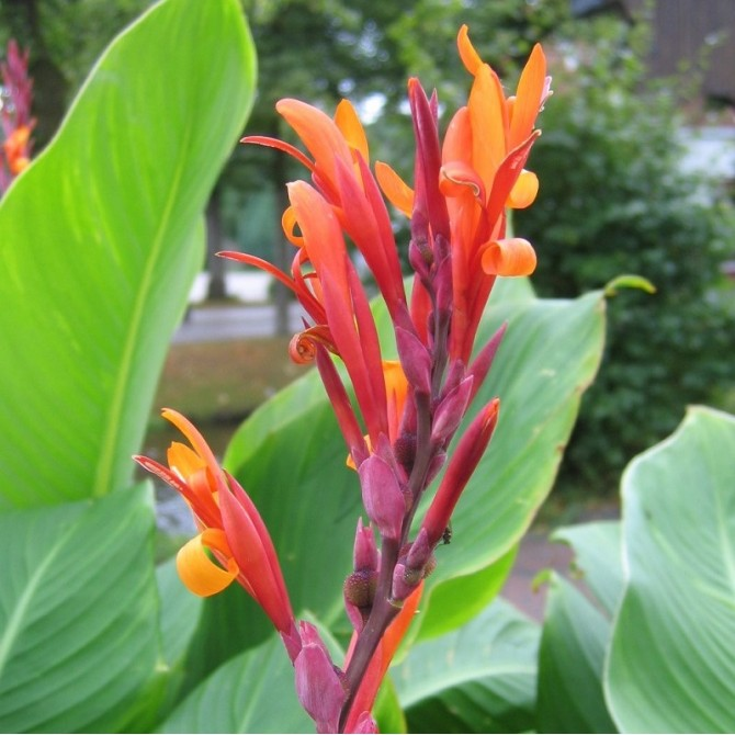Balisier rouge - Canna indica