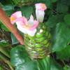 Gingembre spirale rose - Costus laevis