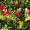 Passiflore écarlate - Passiflora coccinea