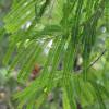 Groseille népalaise - Phyllanthus emblica