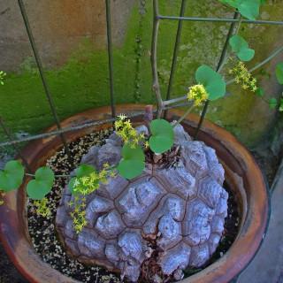 Plante tortue - Dioscorea elephantipes