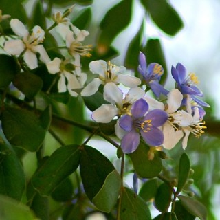 Bois de vie - Guaiacum officinale