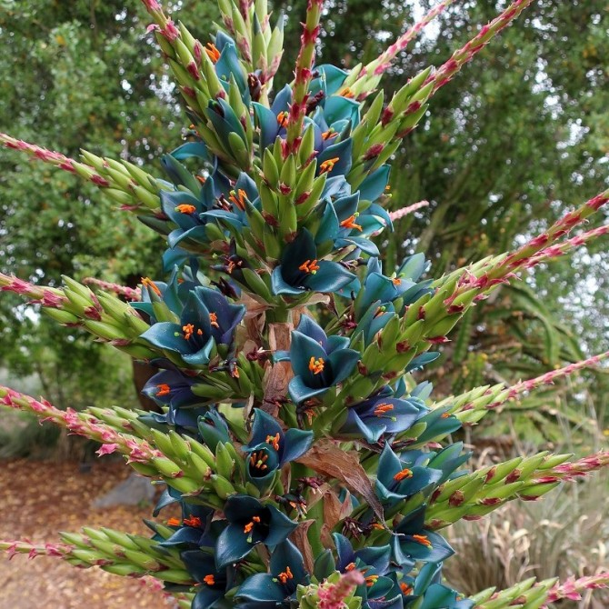 Plante mange-mouton bleue - Puya alpestris