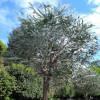 Gommier des montagnes à feuilles d'argent - Eucalyptus pulverulenta