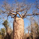 Baobab de Madagascar