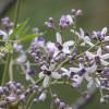 Lilas de Perse - Melia azedarach